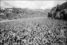 Plantação de bananeiras na margem direita da ribeira dos Socorridos, Freguesia de São Martinho, Concelho do Funchal