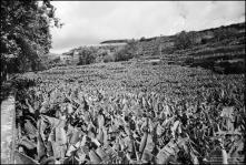 Plantação de bananeiras nas imediações do Arreiro, Estrada Monumental, Freguesia de São Martinho, Concelho do Funchal