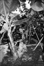 Plantação de bananeiras, em local não identificado